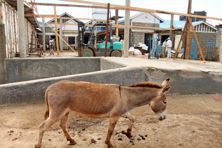 一头驴在金牛屠宰场溜达。这种动物不适合集约化养殖,在一些非洲国家,它们的数量正在减少。