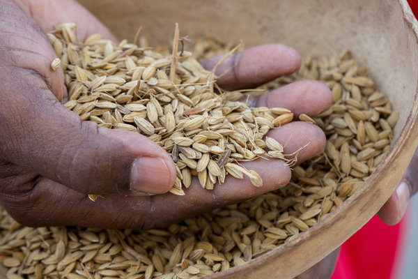 Upland red bearded rice was once a household staple for enslaved people in the American South. The African rice was thought to be lost until Mr. Morean discovered fields of it being grown in Trinidad.