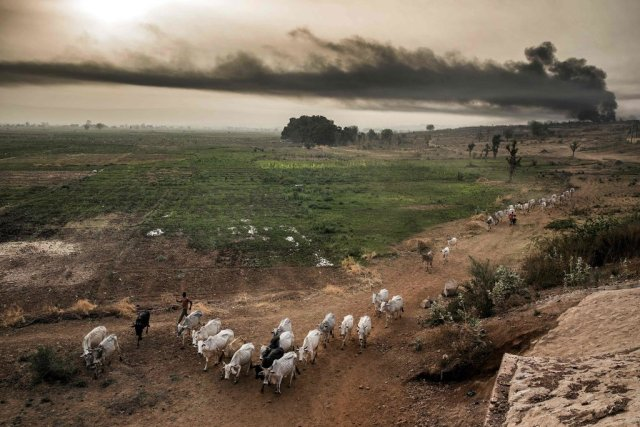 Cattle grazing outside Sokoto, Nigeria, where large-scale farming is in conflict with local communities. CreditCreditLuis Tato/Agence France-Presse — Getty Images