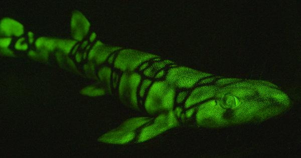 Un pez gato biofluorescente