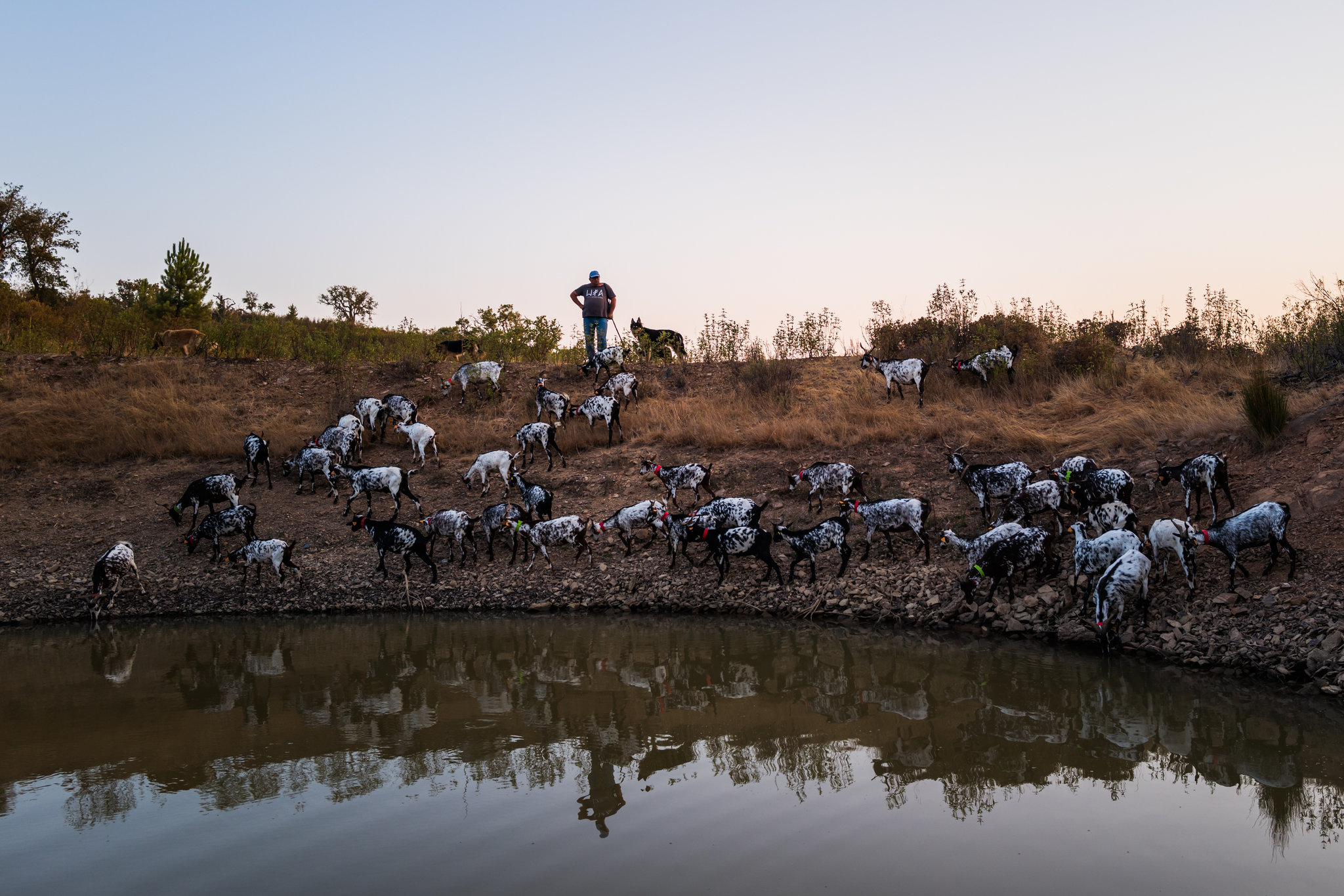 Leonel Martins Pereira, a shepherd in Vermelhos, Portugal, with the goats he tends at the end of a long day.