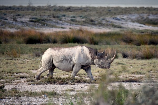 Nearly half of the 5,500 black rhinos remaining in the wild are in Namibia, which can permit five males a year to be legally hunted.