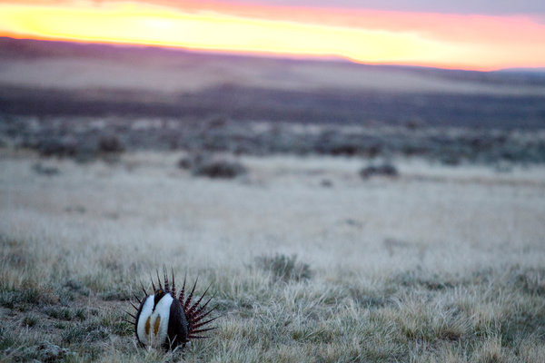 A male sage grouse outside of Rock Springs, Wyo. A significant amount of money has been spent on this iconic bird to stop it from becoming an endangered species.