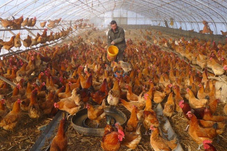 11月,黑龙江省黑河的一个养鸡场。随着对冠状病毒的应对限制人们出行并切断了供货渠道,像这样的小企业将遭受严重打击。