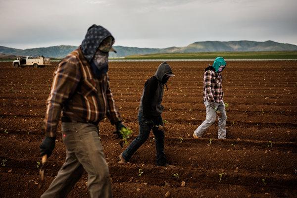 Workers planting rows of cantaloupes near Oro Loma.