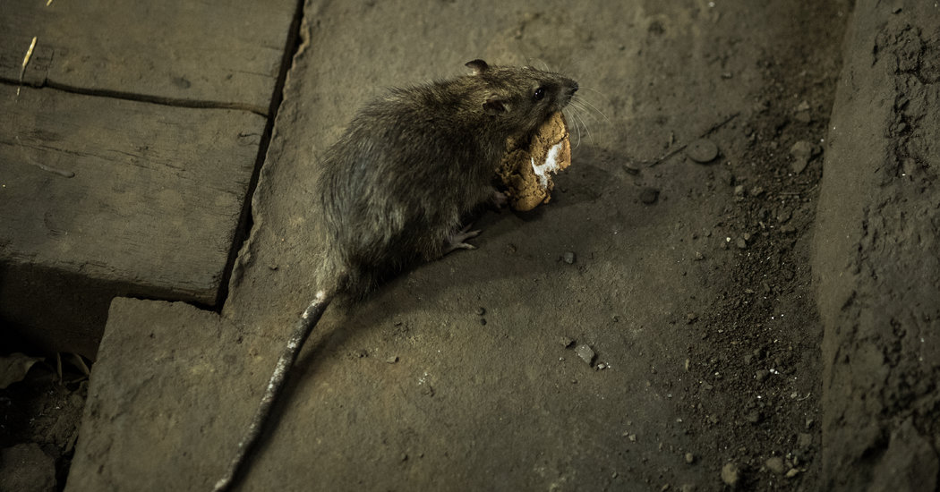 C.D.C. Warns of Aggressive Rats Searching for Food During Shutdowns