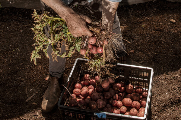 Shawn Connell picks potatoes at the farm.