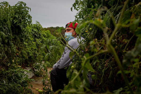 A seasonal farmworker in one of the many tomato fields found along the remote Eastern Shore of Virginia.