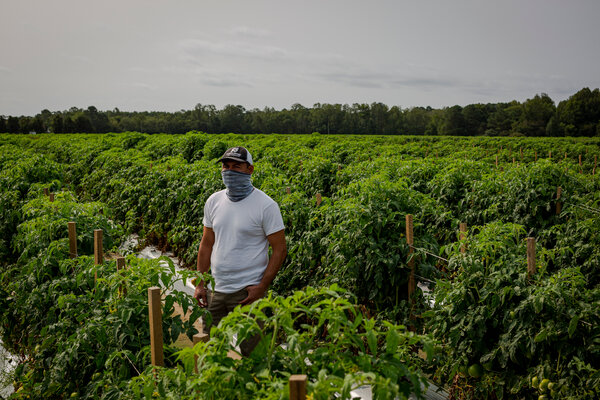 A thousand or more Mexican tomato pickers descend on the Eastern Shore each year to work for Lipman.