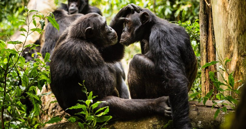 No Grumpy Old Men in the Chimp World