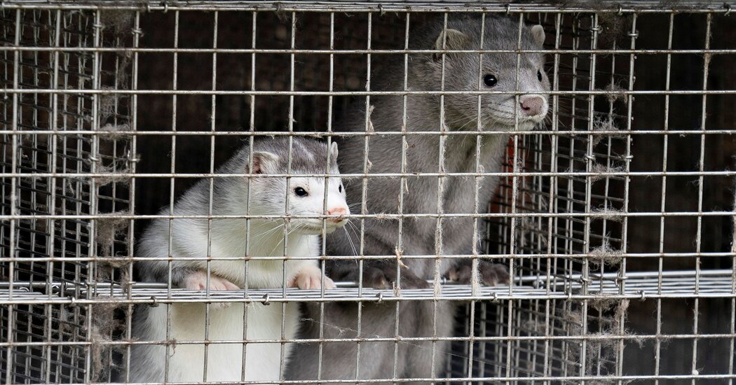 Denmark Will Kill All Farmed Mink, Citing Covid Infections