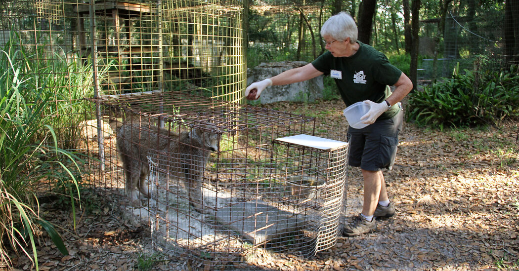 Volunteer at Big Cat Rescue Injured During Feeding