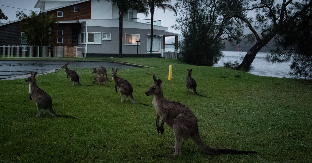 'A Social Species': How Kangaroos Communicate With People