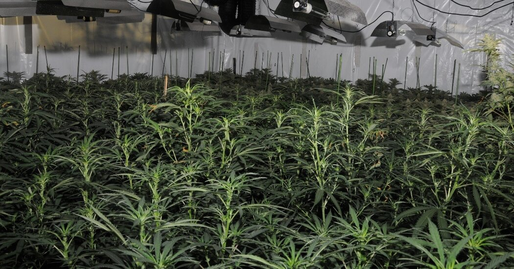 'Cannabis Factory' Is Found in London's Deserted Financial District