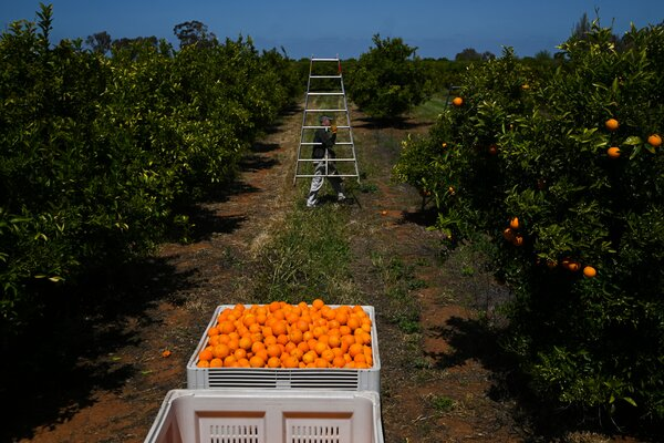 Harvesting oranges in New South Wales in October. The neighboring state of Victoria is one of the last in Australia to allow in Pacific Islanders to help on farms.