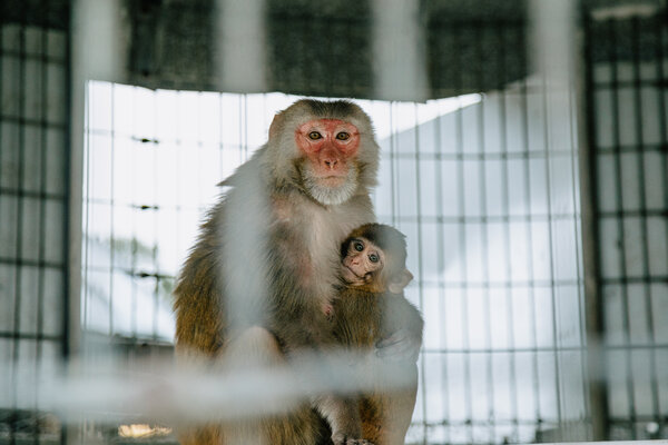 The seven primary centers in the United States have more than 25,000 laboratory monkeys.  Most are pink-fronted rhesus macaques, such as Tulane.