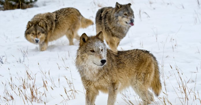 In Montana, Bears and Wolves Become Part of the Culture Wars
