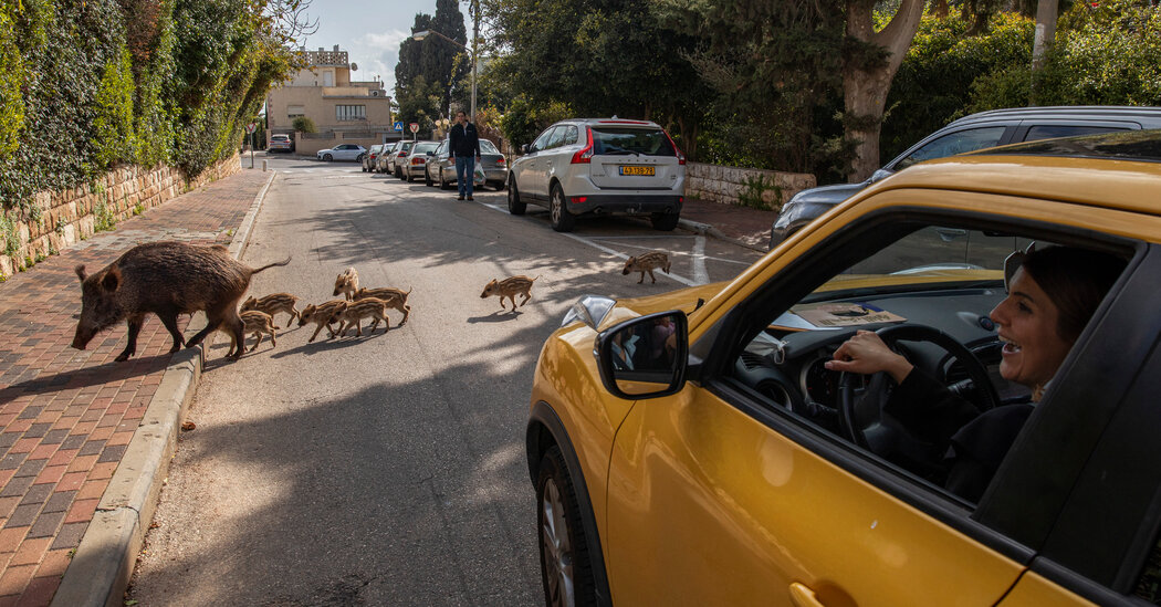 In Haifa, Israel, Wild Boars Encroach on Human Turf