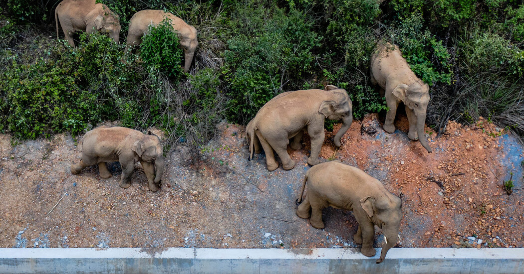 15 Chinese Elephants Are On a 300-Mile Journey. Why, No One Knows.