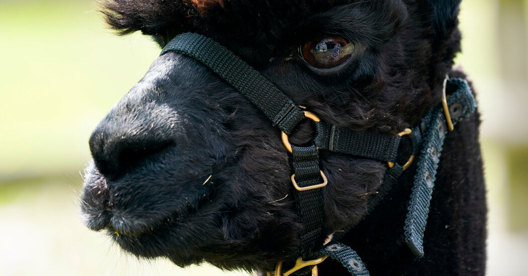 Thousands in Britain Are Trying to Save Geronimo the Alpaca From Execution