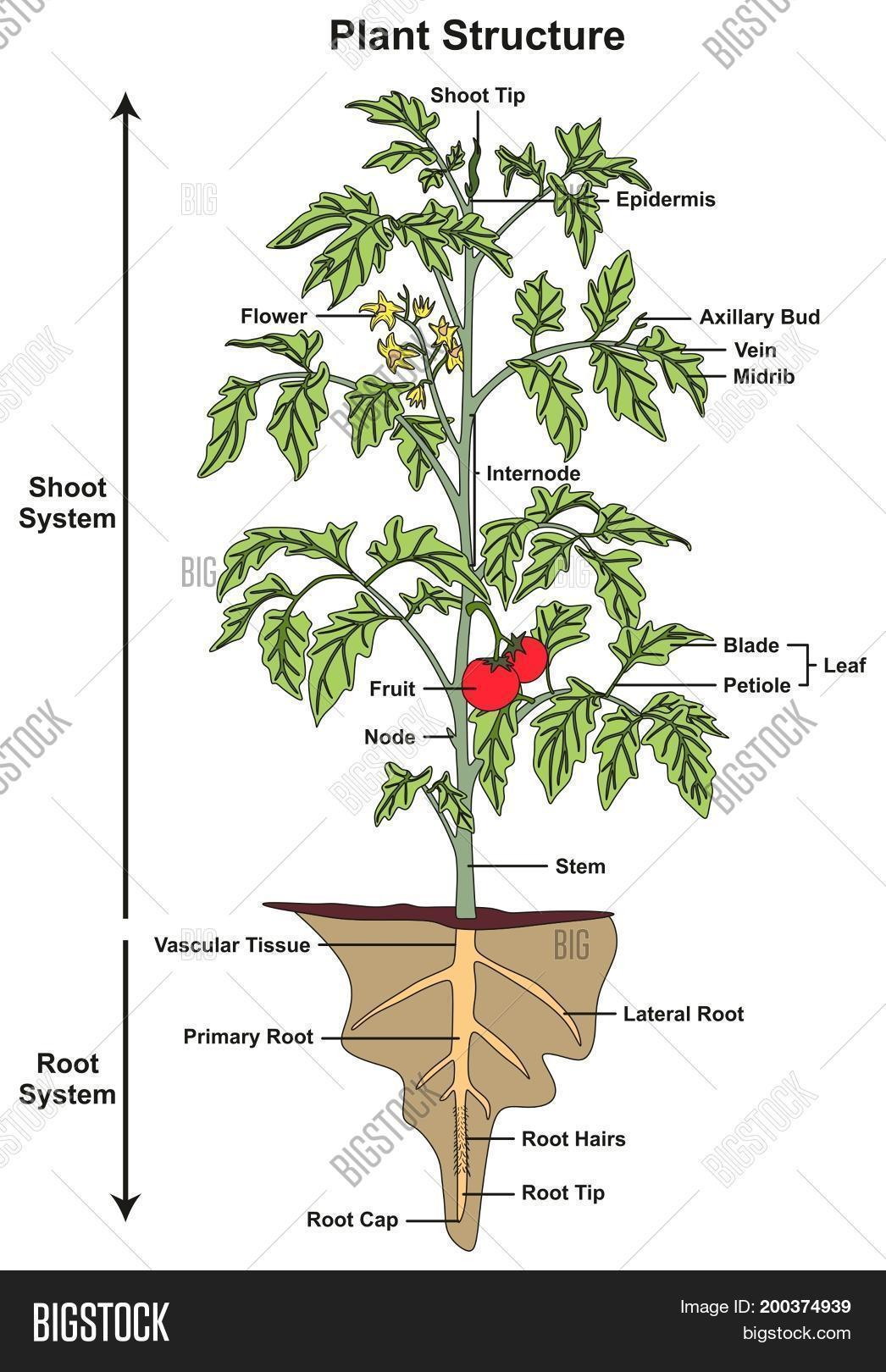 Plant Structure Image Amp Photo Free Trial