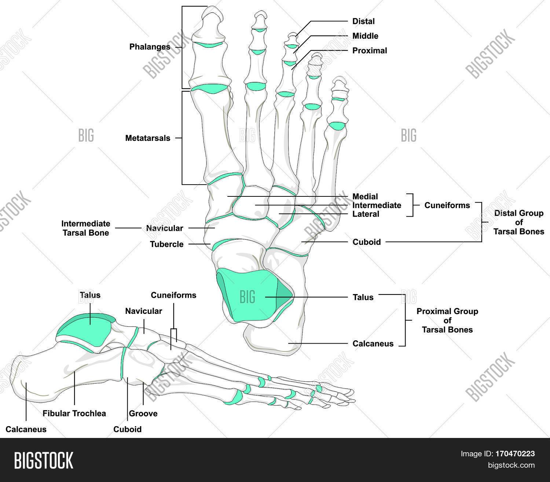 Human Foot Bones Anatomy Diagram Image Amp Photo