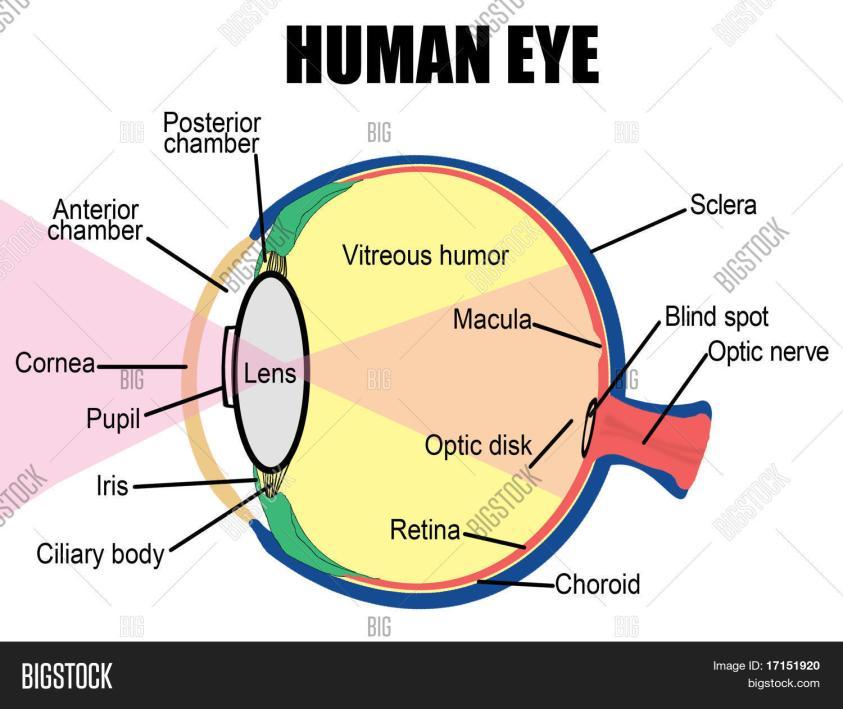 Blind Spot Anatomy - BLINDS
