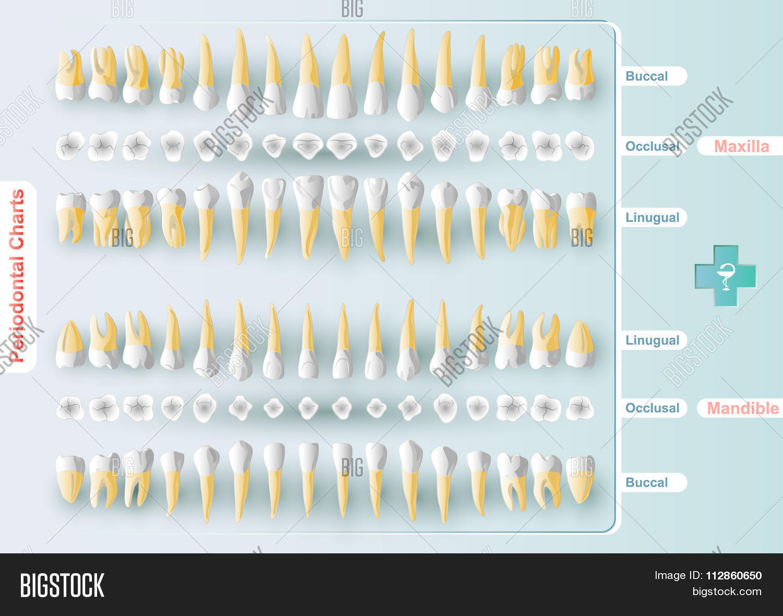 Dental Periodontal Vector Amp Photo Free Trial