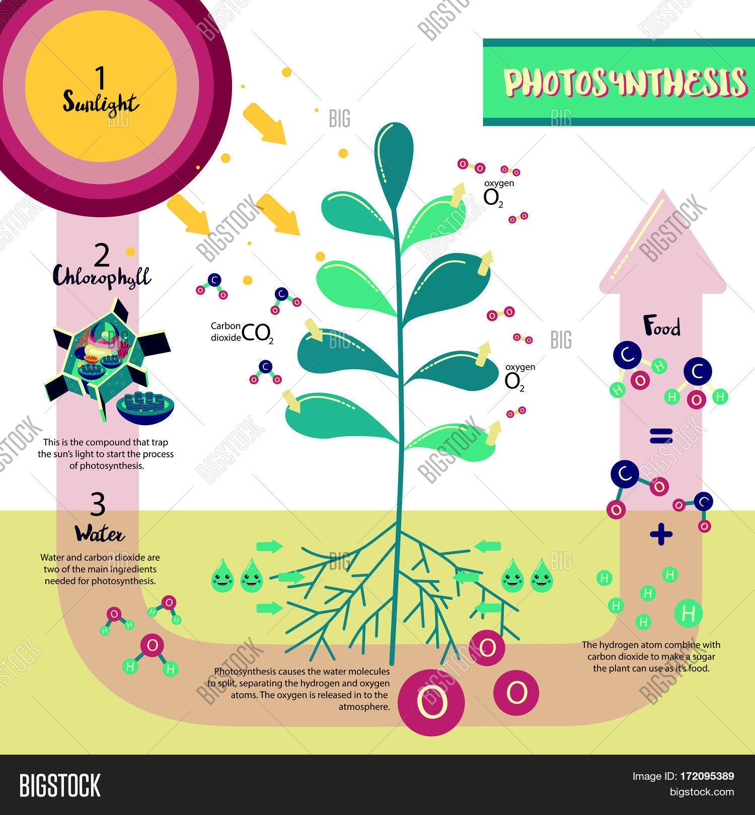 Photosynthesis Process Diagram Vector Amp Photo