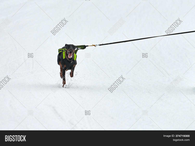 Running Doberman Dog Image Amp Photo Free Trial