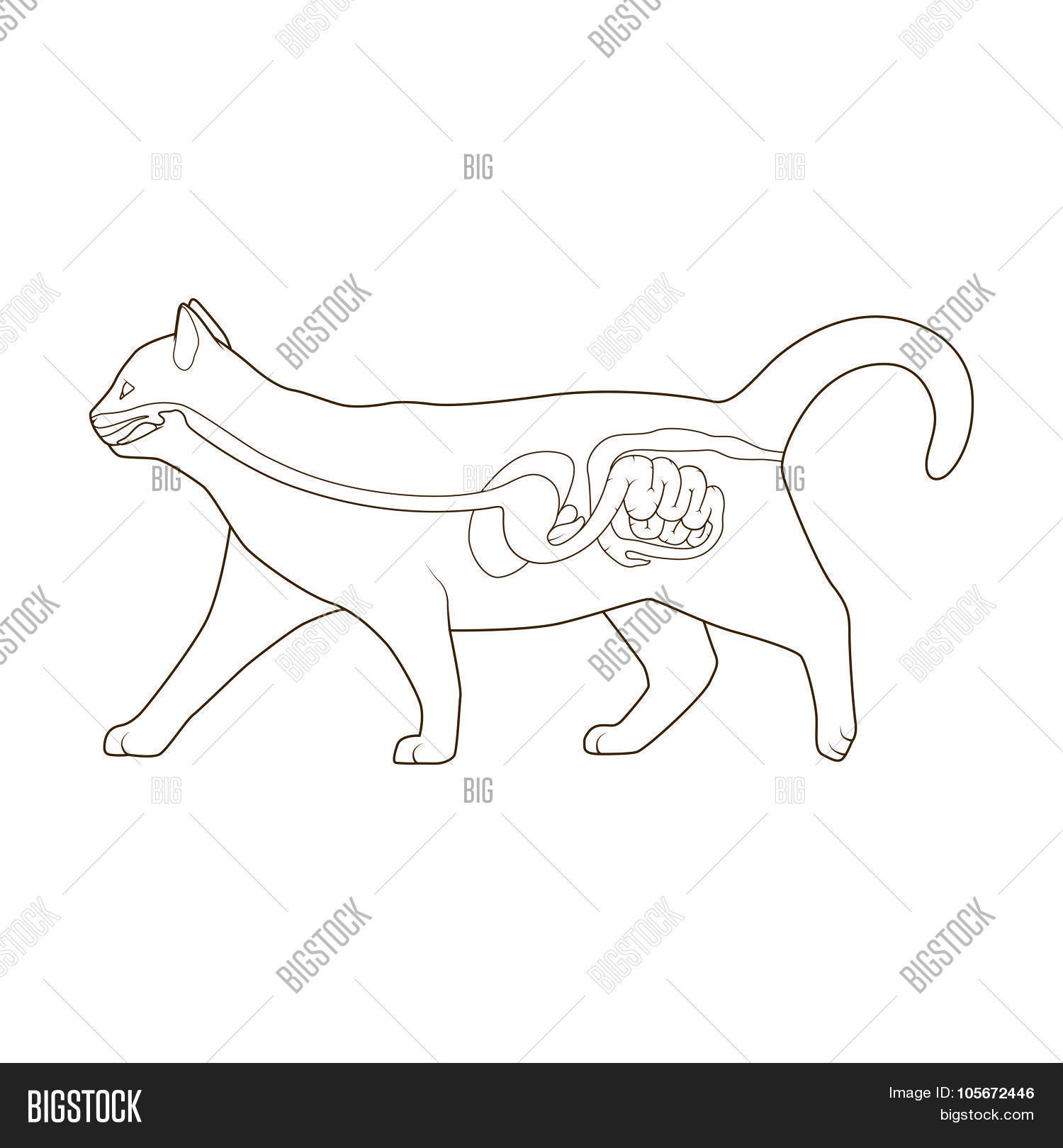 Detailed Cat Digestive System