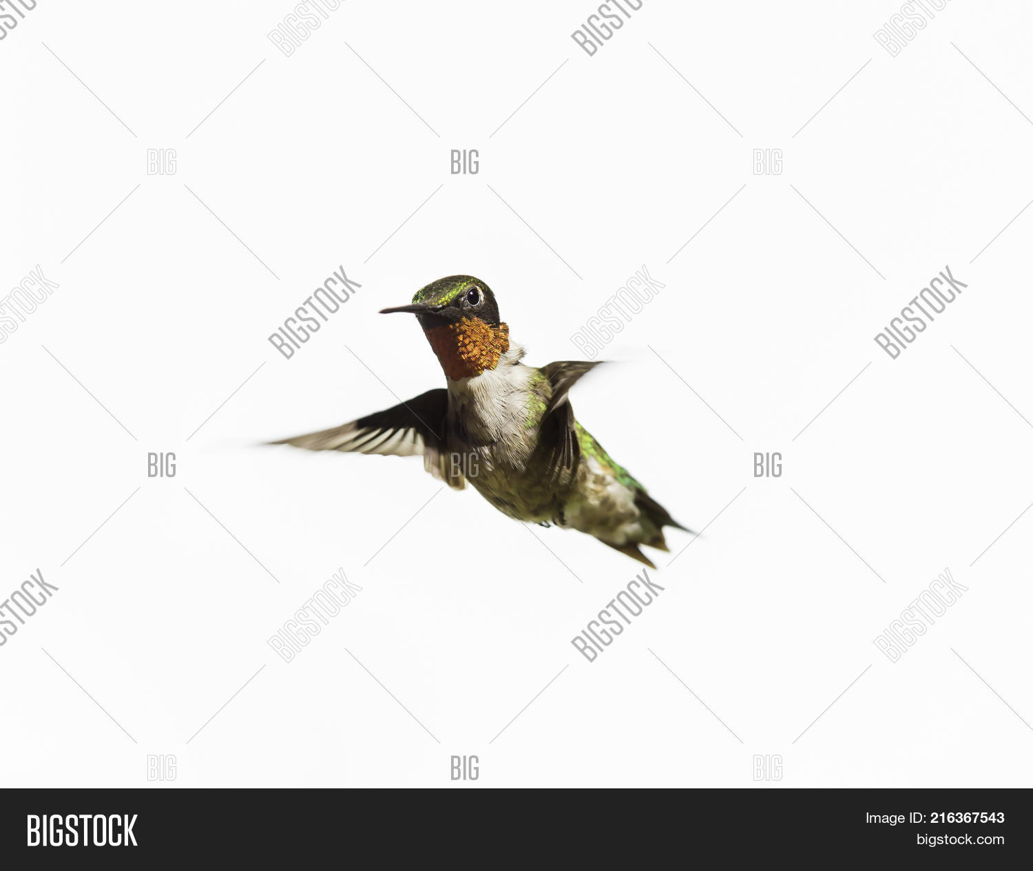 Ruby Throated Image Amp Photo Free Trial
