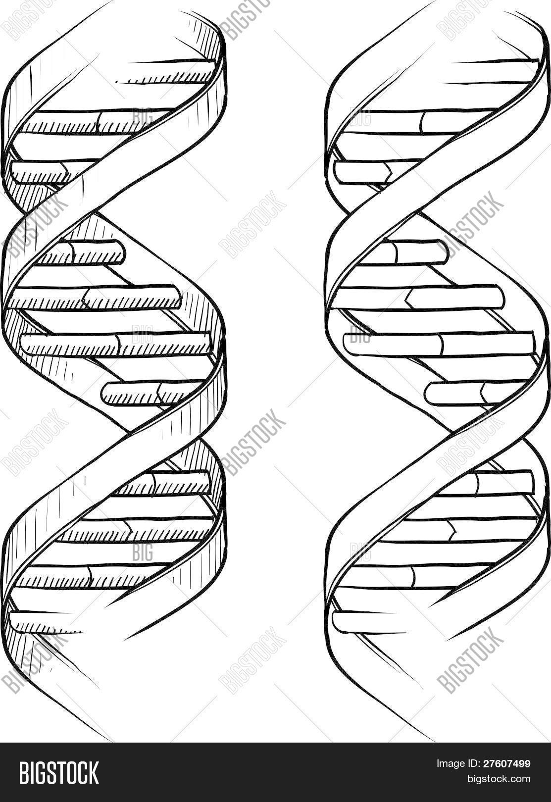 Dna Double Helix Sketch Vector Amp Photo