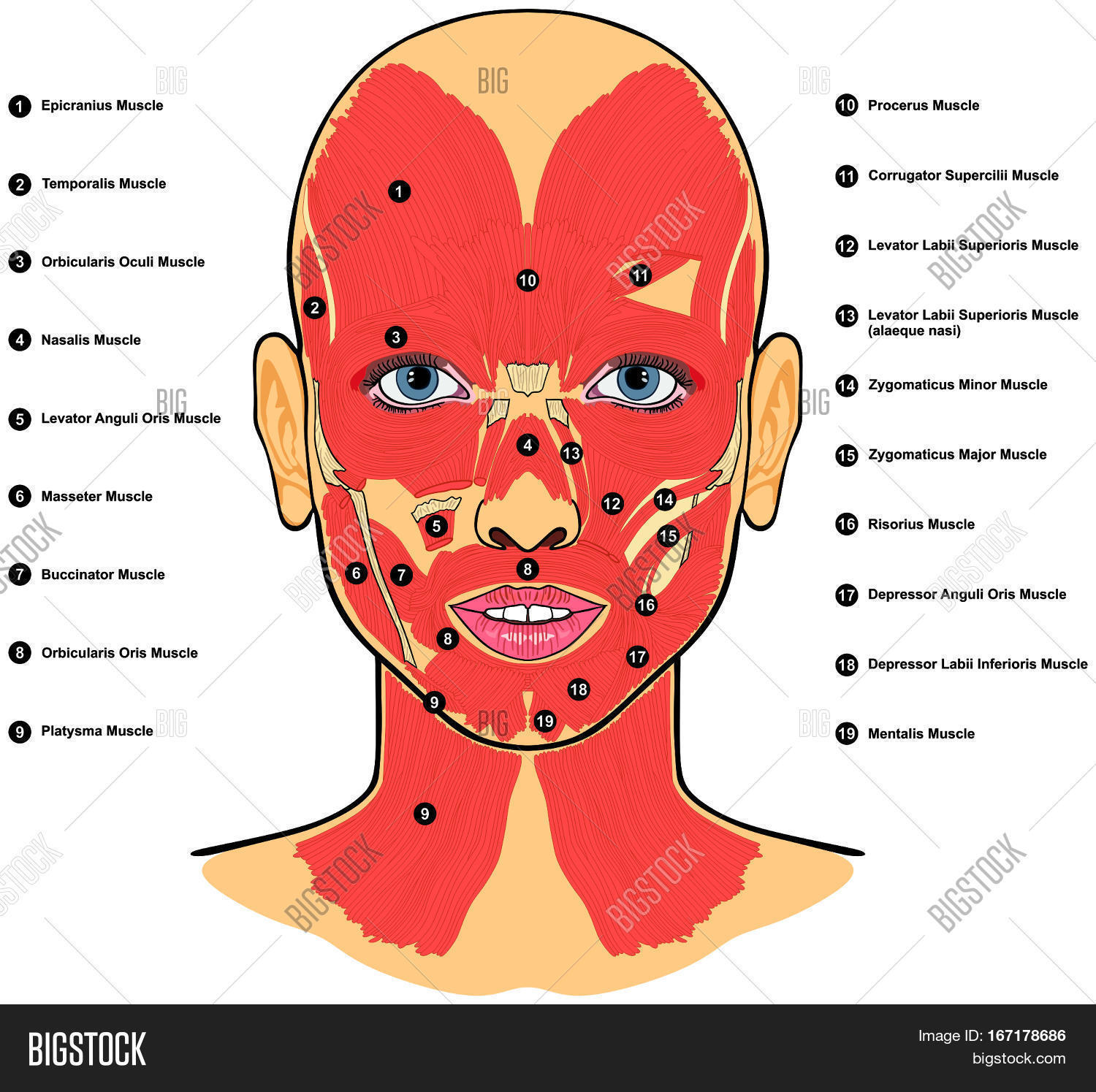 Human Face Muscles Image Amp Photo Free Trial