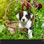 Corgi Puppy Sitting Image Photo Free Trial Bigstock