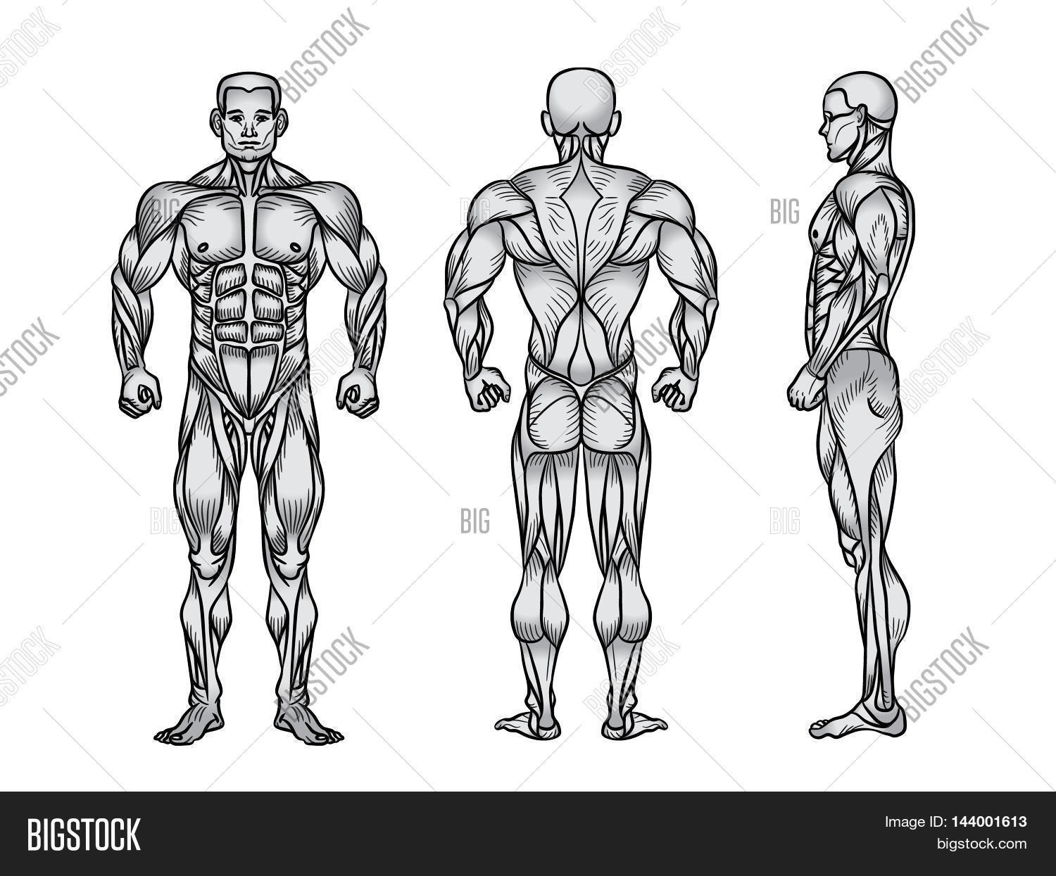 Anatomy Male Muscular System, Image & Photo