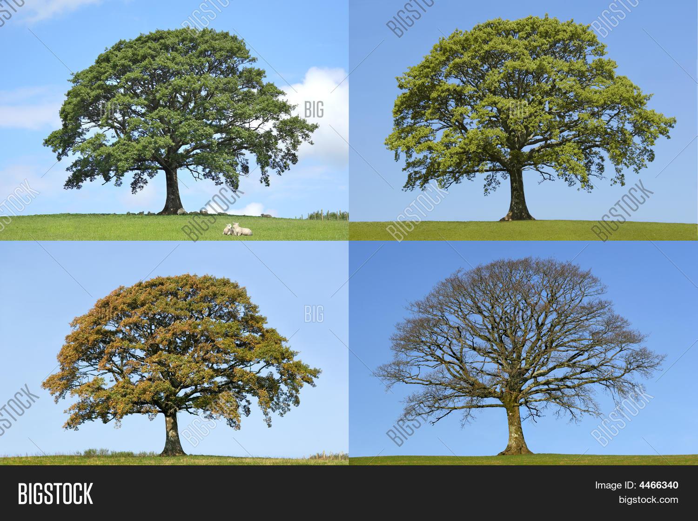 Oak Tree Four Seasons Image Amp Photo