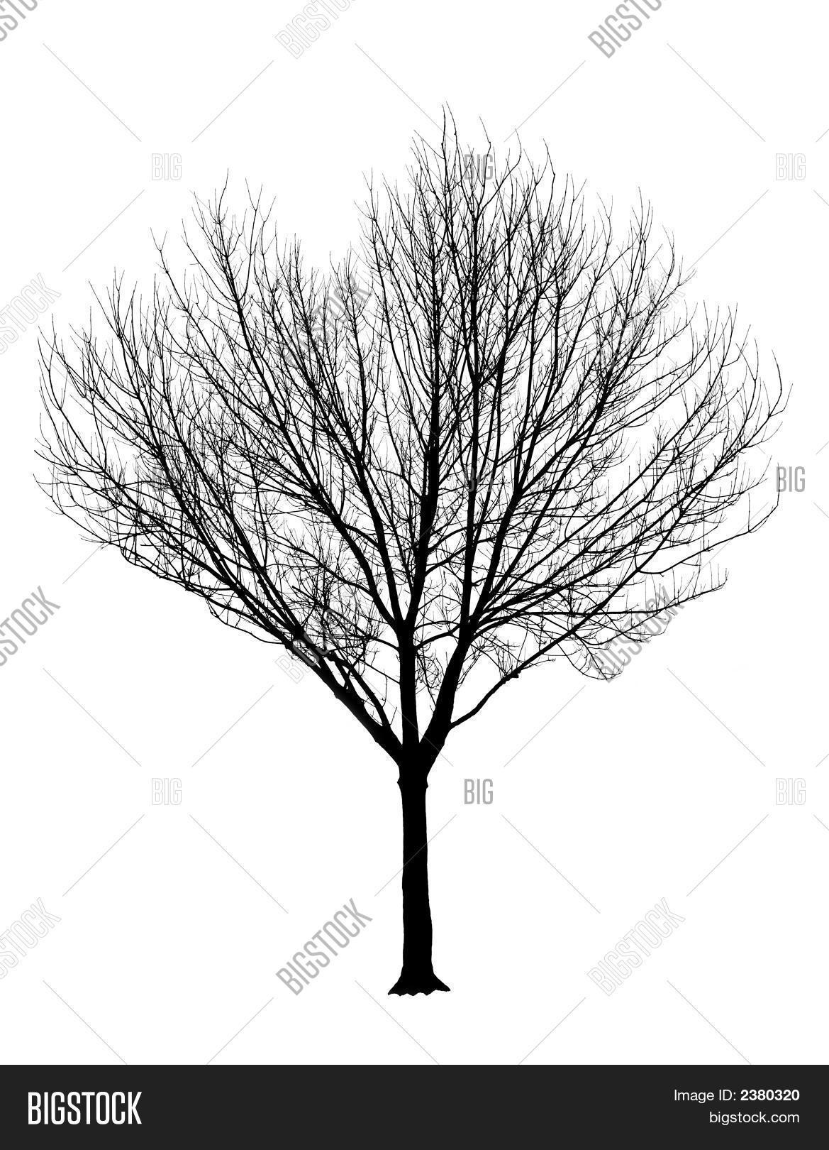 Bare Tree Silhouette Isolation Image Amp Photo