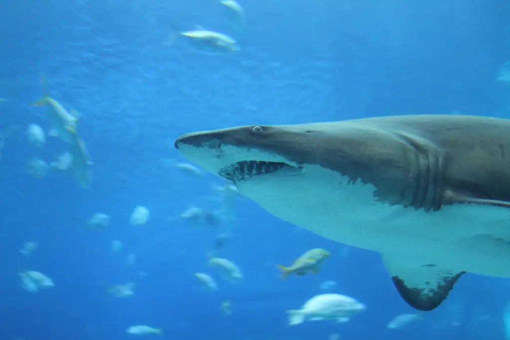 Sharks can and do get cancer. The myth that they don't was created by I. William Lane to sell shark cartilage as a cancer treatment.