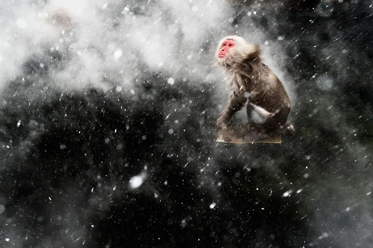 """Snow moment"" — Jasper Doest of the Netherlands captured a Japanese macaque jumping on a rock in a hot spring."