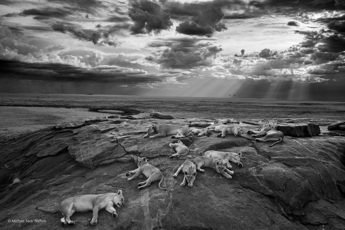 """Michael """"Nick"""" Nichols won the grand prize at London's Natural History Museum's 2014 Wildlife Photographer of the Year Competition with this black-and-white photo of snoozing lions in Tanzania's Serengeti National Park."""