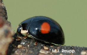 The adult Hyperaspis ladybug searches for prey near a mound of scale insects.