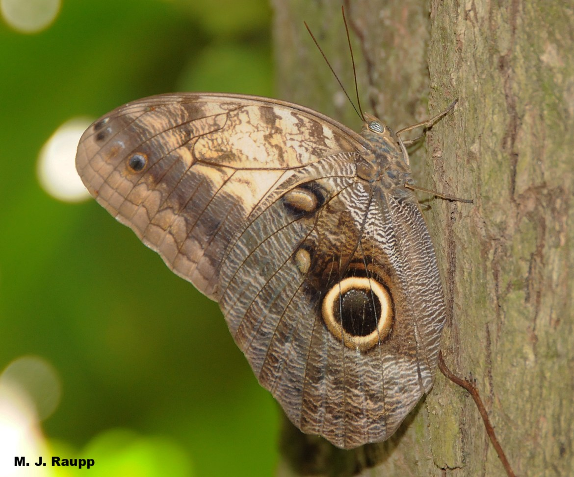 A scary eye spot adorns the wing of an owl butterfly. Can it fool hungry predators?