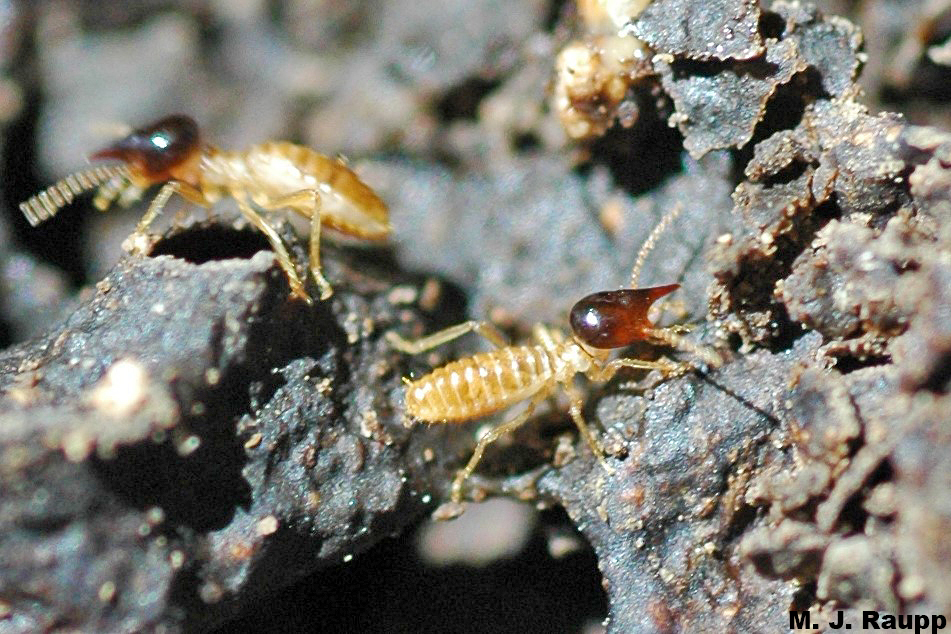 This termite soldier squirts defensive chemicals through the elongated snout called a nasus at the front of its head.