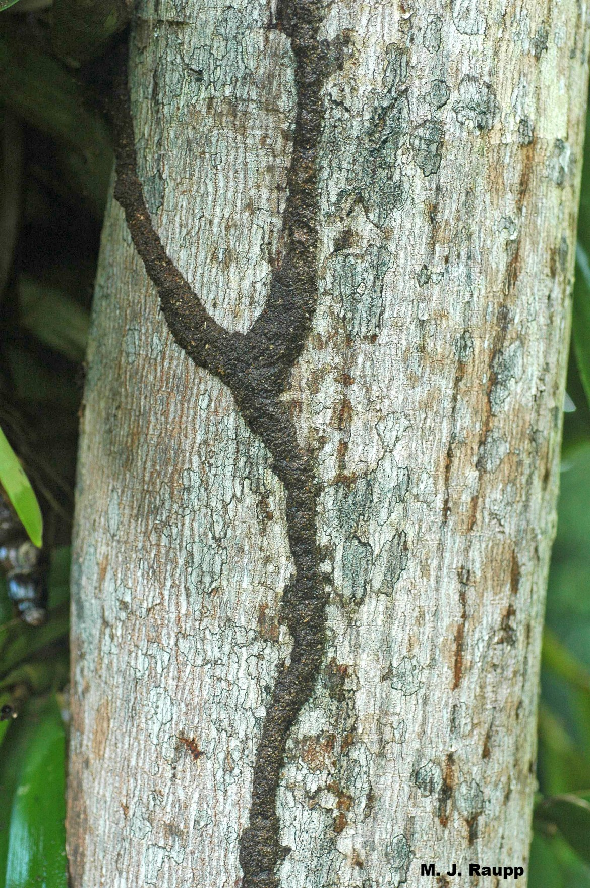 Dark trails mark the foraging routes of termites on tree trunks as they search for food.