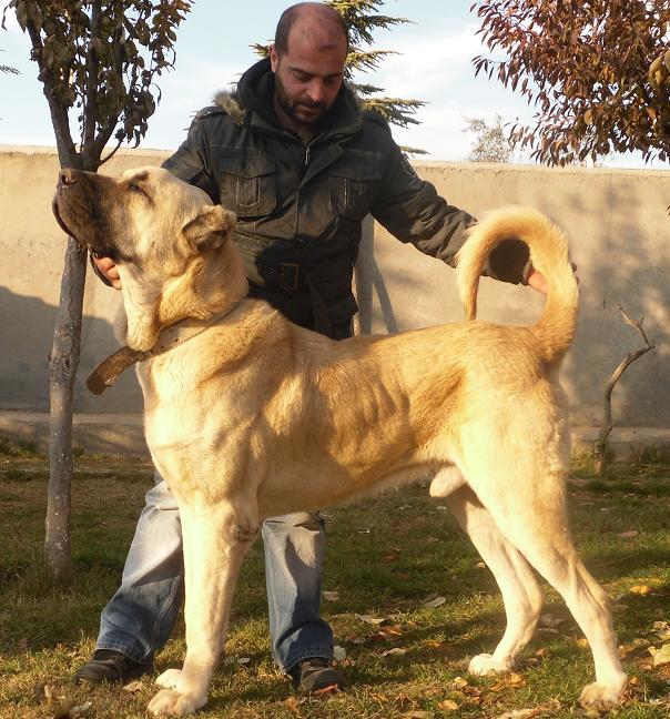 Male Turkish Boz Shepherds have a square profile and majestic appearance. Notice the balance of structure, size, power, and athleticism.