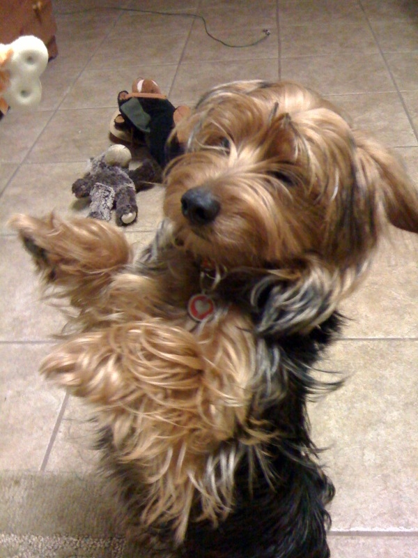 Comparing My Dorkie The Canine Chef Cookbook