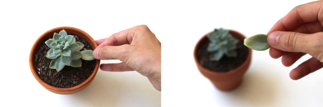 Extracción de hojas suculentas: Propagación de plantas suculentas a través de agujas + Hojas. Aprender cómo propagar suculentas de las hojas y recortes.