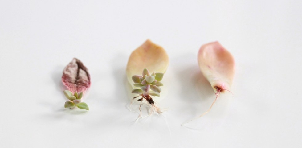how-to-propagate-succulents-from-leaves-and-cuttings-needlesandleaves_net.jpg