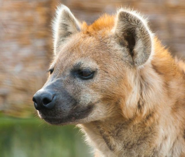 Female Hyenas Have An  Inch Clitoris And It Makes For Tricky Mating Sex And Psychology